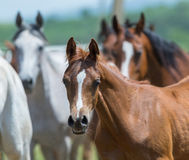 Flock av hästar som kör, arabiska hästar arkivbilder