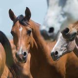 Flock av hästar som kör, arabiska hästar Royaltyfria Bilder