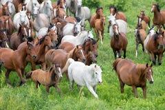 Flock av hästar som kör i äng Royaltyfria Bilder