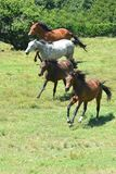 Flock av hästar som tillsammans galopperar arkivbild