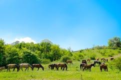 Flock av hästarna royaltyfria bilder