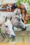 Flock av hästdricksvatten Arkivbild