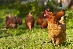 Flock av hönor Royaltyfria Foton