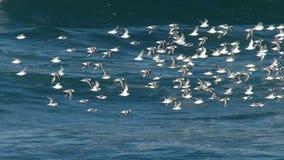 Flock av havsfåglar som flyger över Stilla havet arkivfilmer