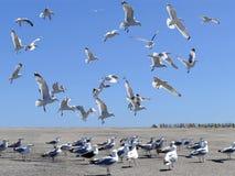 Flock av havsfiskmåsar i handling Royaltyfria Bilder