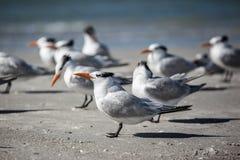 Flock av havsfiskmåsar på en strand Royaltyfria Bilder