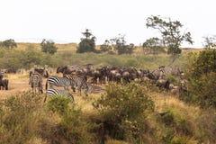 Flock av herbivor på den branta banken av floden kenya mara flod arkivfoton