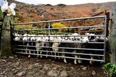 Flock av Herdwick får fotografering för bildbyråer