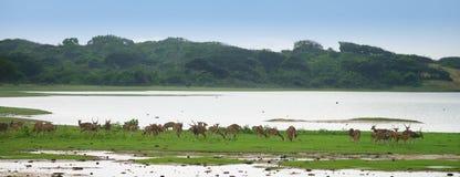 Flock av hjortar Royaltyfri Foto