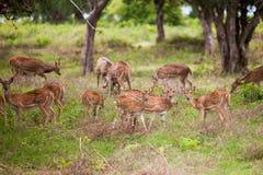 Flock av hjortar royaltyfri bild