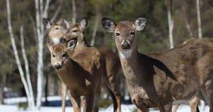 Flock av hjortar i skog Arkivfoto