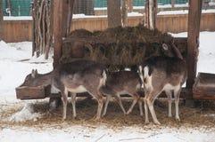 flock av hjortar nära förlagematare i vinter Arkivbilder