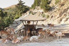 Flock av hjortar på ho Royaltyfri Bild