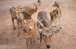 Flock av hjortfamiljen i lantgården som omkring ser Arkivfoto