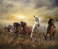 Flock av hästar som fritt galopperar på solnedgången Arkivfoton