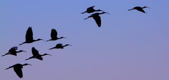 Flock av ibins fotografering för bildbyråer