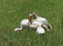 Flock av ibits Arkivbild