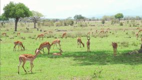 Flock av impalaantilop som vilar och äter gräs arkivfilmer