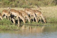 Flock av impalaen som dricker, Sydafrika royaltyfri bild
