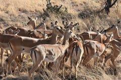 Flock av impalan i Serengeti, Tanzania arkivbild