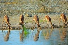Flock av impalan som dricker från en waterhole Arkivfoto