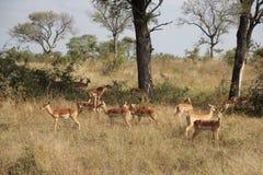 Flock av impalor i savannah Royaltyfri Fotografi