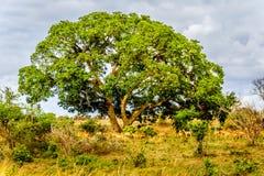 Flock av impalor som söker skugga under ett stort träd i savannregionen av den centrala Kruger nationalparken Royaltyfri Bild