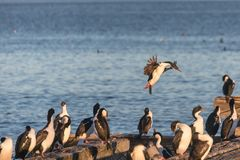 Flock av imperialistiska cormorans på hamnen av Punta Arenas Arkivbild