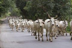 Flock av indiska kor arkivfoto