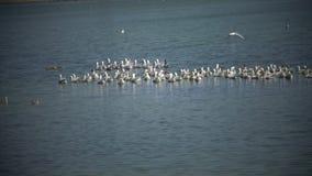 Flock av inhemsk gäss på sjön arkivfilmer