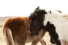 Flock av isländska ponnyer Arkivbilder