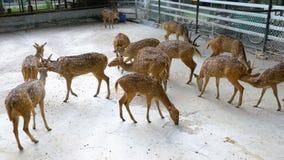 Flock av japanska hjortar i zoobur Tigern parkerar Pattaya thailand stock video