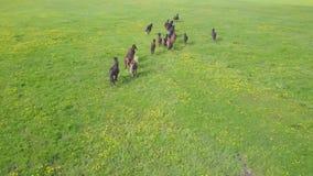 Flock av körande hästar i en grön äng från en höjd lager videofilmer