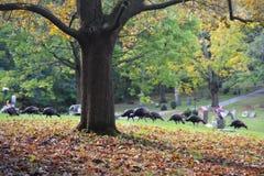 Flock av kalkon som går till och med kyrkogård fotografering för bildbyråer