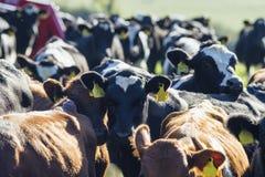 Flock av kalvar på bygdfältslut upp royaltyfri foto