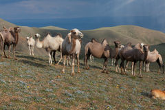 Flock av kamel Royaltyfri Bild