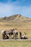 Flock av kamel på bakgrunden av berg Royaltyfri Foto