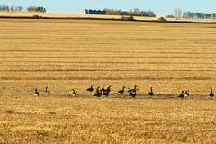 Flock av Kanada gäss i ett vetefält Arkivbilder