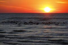 Flock av Kanada gäss på Lake Huron på solnedgången Royaltyfri Foto