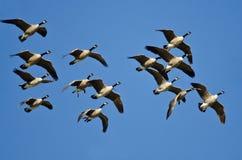 Flock av Kanada gäss som flyger i en blå himmel Royaltyfri Foto