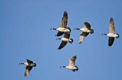 Flock av Kanada gäss som flyger i en blå himmel Arkivfoton
