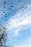 Flock av kanadensiska geeses som uppe i luften flyger. Royaltyfria Foton