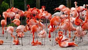 Flock av karibiska flamingo Royaltyfri Foto