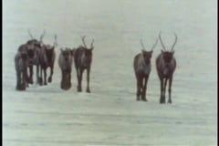 Flock av karibu som går över iskall terräng stock video