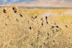 Flock av koltraster i Bush arkivfoto