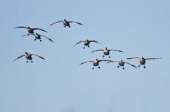 Flock av kommande down för Kanada gäss för att landa Royaltyfri Fotografi