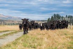 Flock av kon, Nya Zeeland royaltyfri foto