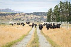 Flock av kon, Nya Zeeland fotografering för bildbyråer
