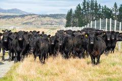 Flock av kon, Nya Zeeland royaltyfria foton
