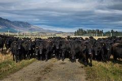 Flock av kon, Nya Zeeland arkivfoton